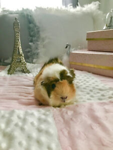Beautiful, Sweet Adult Guinea Pigs In Need of Forever Homed
