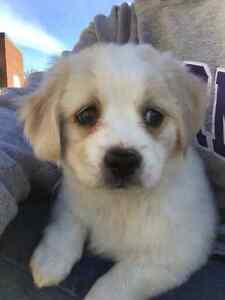 Loving Puppy Looking For Home Cambridge Kitchener Area image 1