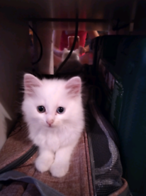 SOLD!! Beautiful white fluffy one blue eye one gold 9 week old kitten