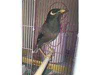 Common mayna bird