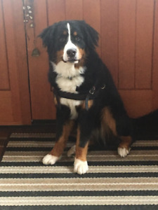 Bernese Mountain Dog Missing