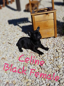 Blue and choco sable French Bulldog Puppies for sale