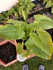 GARDEN PLANT POTS ARUM LILLIES Varius sizes.