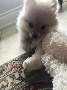 Cute Male Pomeranian puppy, (With Supplies) Dog