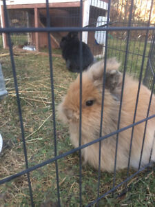 Looking to adopt an adult rabbit