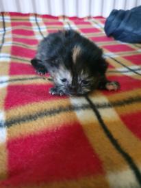 Kittens bengal looking
