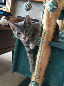 Two Playful Male Kittens for Adoption