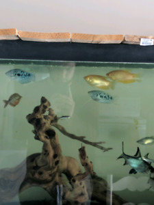 Yellow and Blue Gouramis