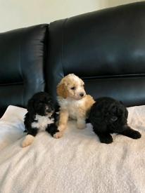 Lakeapoo puppies