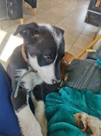 Collie Sheepdog pup