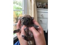 Chihuaha puppies for sale