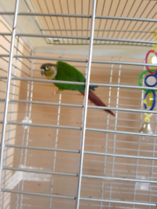 8 months old green cheek Conure male and female both available
