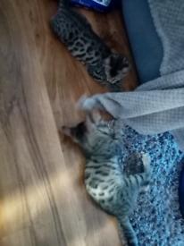 Ex bangal kitten