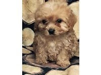 Cavapoo girl puppy