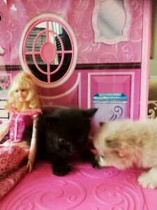 Beautiful Ragdoll Kittens are Looking for a Loving and Caring Ho