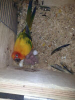 Proven pairs of SUN CONURES (NOT TAME)