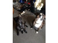 Stunning staffy puppies 4 girls left out of 8