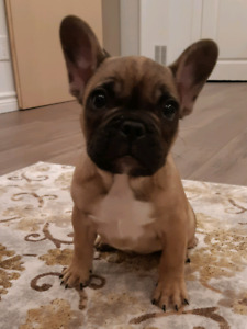 Beautiful & Healthy, Purebred French Bulldog Puppy