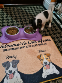 Jack Russell puppies, two girls available!