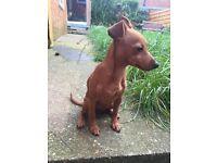 Pinscher puppy for sale
