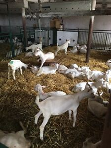 Meat Goats For Sale- Call for pricing  Stratford Kitchener Area image 5