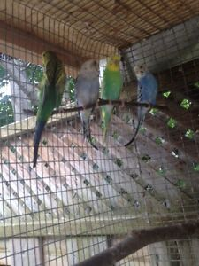 11 budgies and aviary, feeders nest boxes