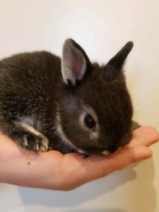Adorable Baby Netherland Dwarf Bunnies - Taking Deposits!