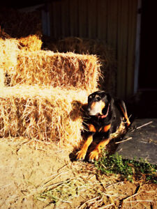 Dog walking, and pet and house / farm sitting available!