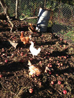 Quality Laying Hens for Sale
