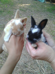 Pets,,,or meat Rabbits.