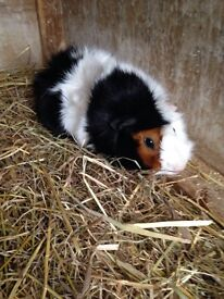Male guinea pig with cage