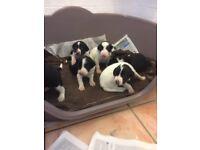 Pointer/collie cross pups