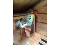 Beautiful tame baby budgies for sale