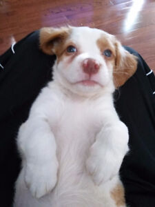 Female Brittany Spaniel Pup - 10 weeks old
