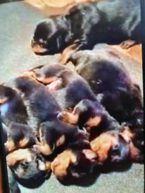 Rotweiller pups