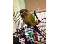 Silly tame Green Cheek Conure Parrot