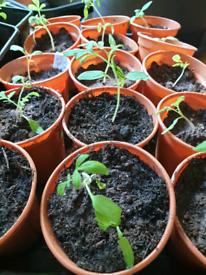 Cherry tomato seedlings plants
