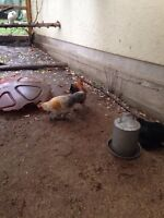 2 roosters need a home