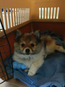 Pomeranian Puppy for Rehoming