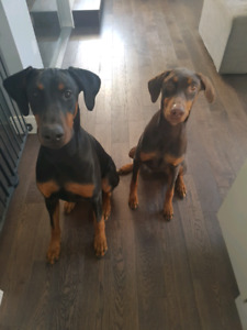 2 loving Doberman's looking for new home!