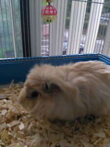 Oliver Twist male guinea pig