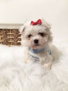 ❤ Stunning Teacup Doll Faced Maltese Babies Ready Now!❤️