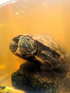 Red Eared Slider Turtles with everything you could ever need