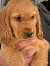 4 male show type Cocker spaniel puppies