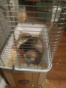 14 mth old female ferret