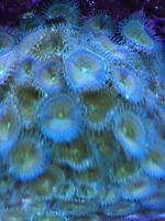 Green Zoas / coral / saltwater / fish