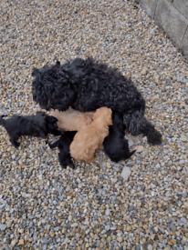 Cockerpoo puppies f1 boys and girls