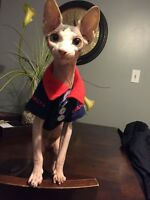 sphynx cat 6 month old nutured male