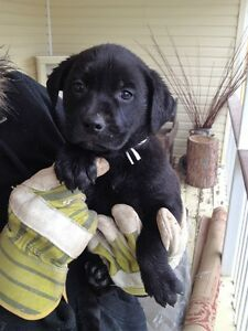 Price Reduced!!   Labrador Rottweiler Cross Puppies