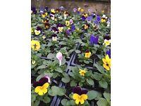 Winter Violas - Excellent Value